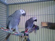 Tame Parrots For Re homing