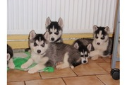Lovely Blue Eyes Siberian Husky Puppies Available